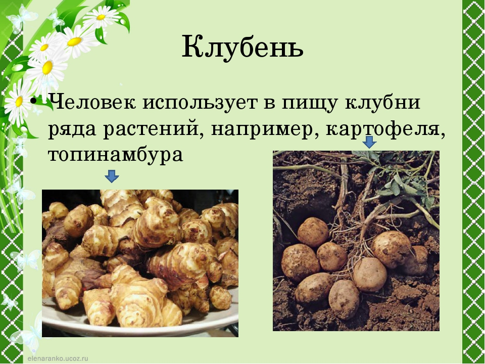 Клубень Человек использует в пищу клубни ряда растений, например,картофеля,...