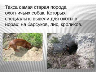 Такса самая старая порода охотничьих собак. Которых специально вывели для охо