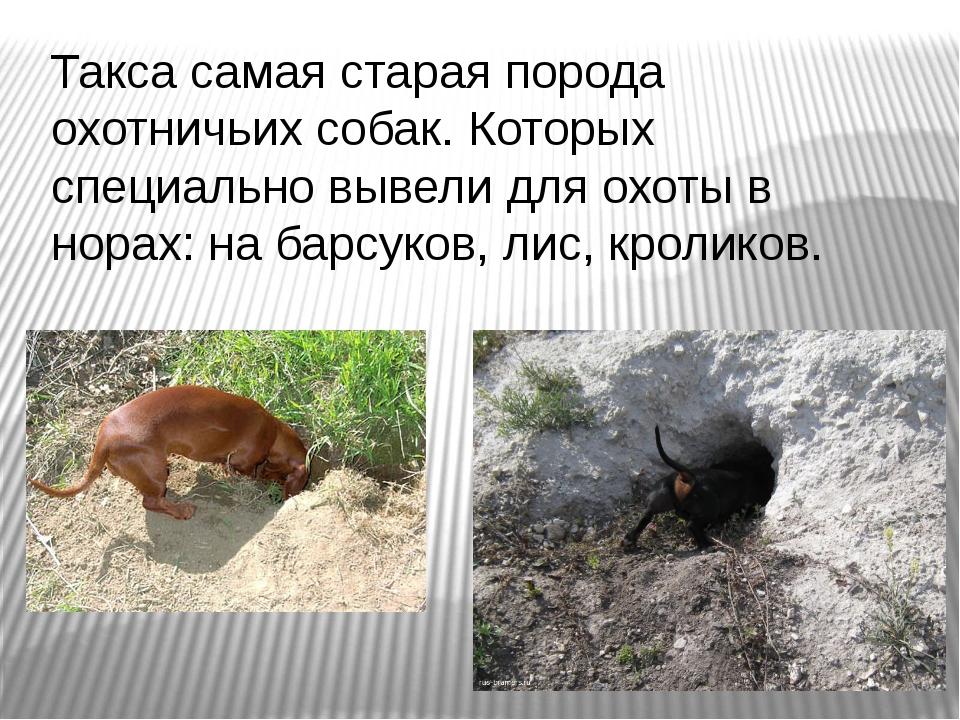 Такса самая старая порода охотничьих собак. Которых специально вывели для охо...
