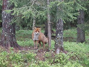 http://upload.wikimedia.org/wikipedia/commons/thumb/2/29/Red_fox_norway_1.JPG/300px-Red_fox_norway_1.JPG