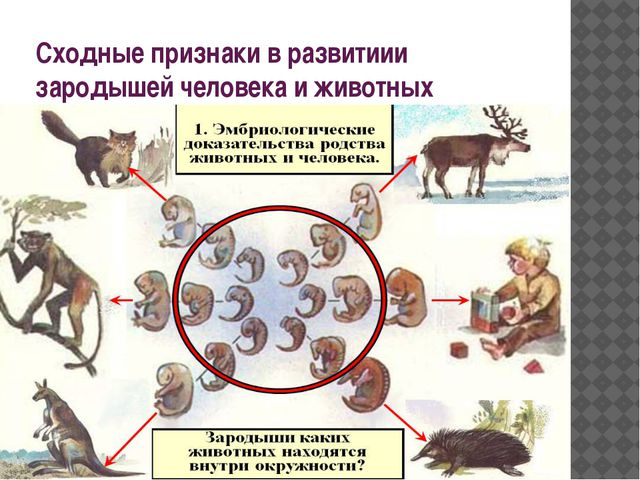 Сходные признаки в развитиии зародышей человека и животных