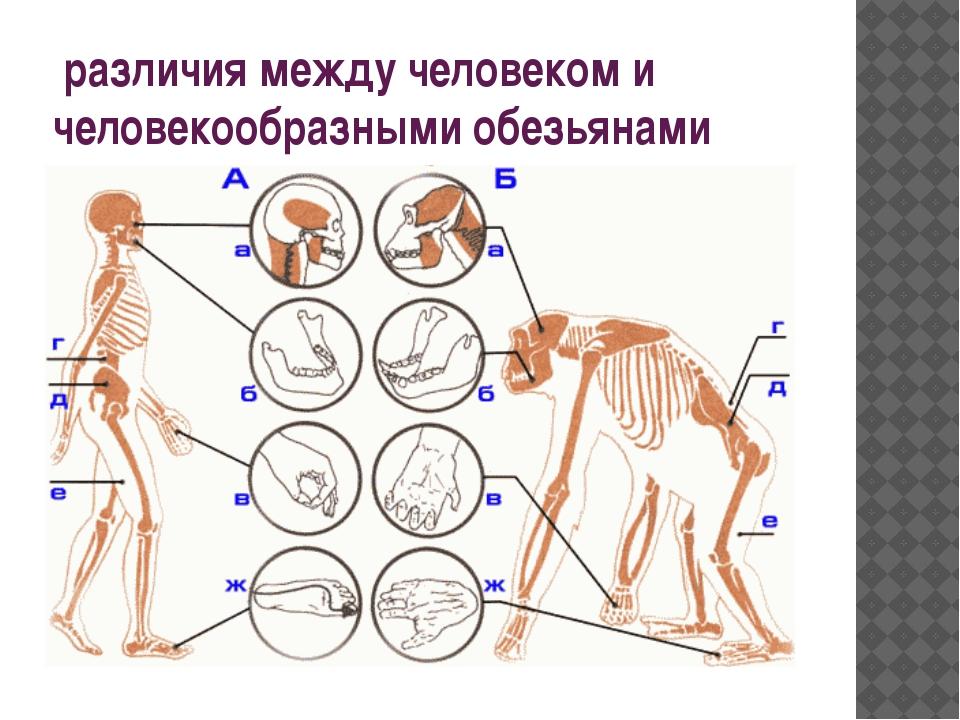 различия между человеком и человекообразными обезьянами