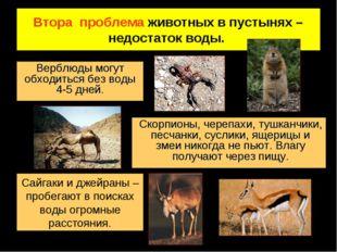 Втора проблема животных в пустынях – недостаток воды. Верблюды могут обходить