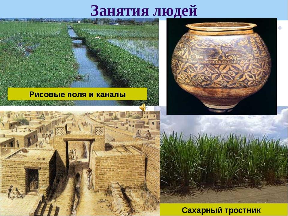Занятия людей Сахарный тростник Рисовые поля и каналы