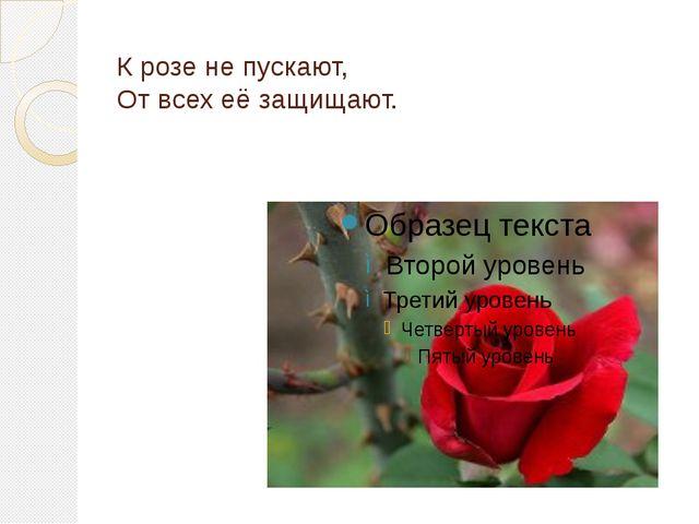 К розе не пускают, От всех её защищают.