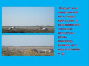 Вокруг села много полей, на которых крестьяне и выращивают зерновые культуры