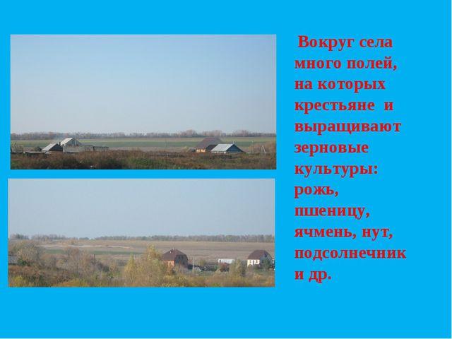 Вокруг села много полей, на которых крестьяне и выращивают зерновые культуры...