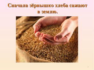 Сначала зёрнышко хлеба сажают в землю. *