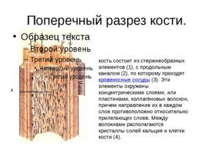 Поперечный разрез кости. кость состоит из стержнеобразных элементов (1), с пр
