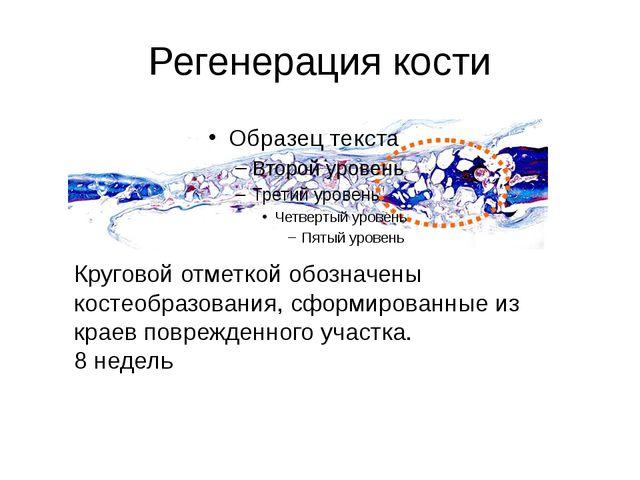 Регенерация кости Круговой отметкой обозначены костеобразования, сформированн...