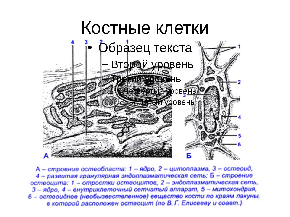 Костные клетки