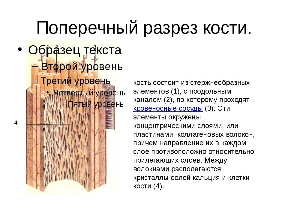 Поперечный разрез кости. кость состоит из стержнеобразных элементов (1), с пр...