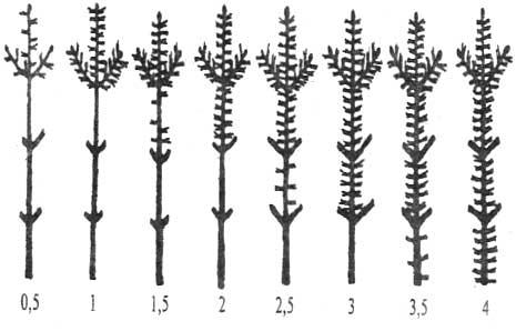 Схема определения продолжительности жизни хвои сосны