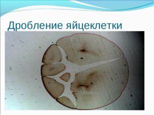 Дробление яйцеклетки