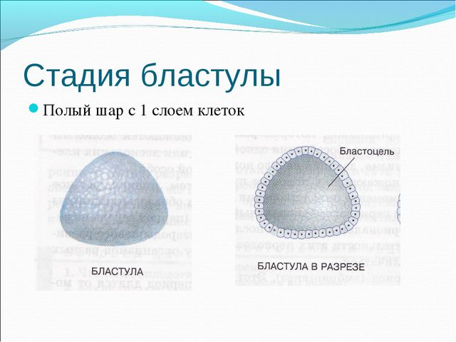 Стадия бластулы Полый шар с 1 слоем клеток