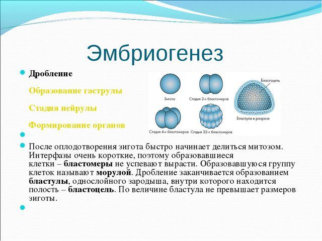 Эмбриогенез Дробление Образование гаструлы Стадия нейрулы Формирование органо...