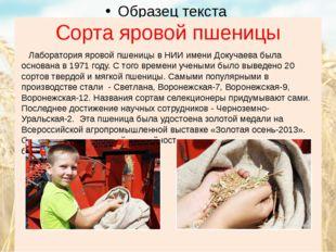 Сорта яровой пшеницы Лаборатория яровой пшеницы в НИИ имени Докучаева была ос