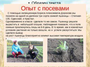 Опыт с посевами С помощью селекционера Бориса Алексеевича Дорохова мы посеяли