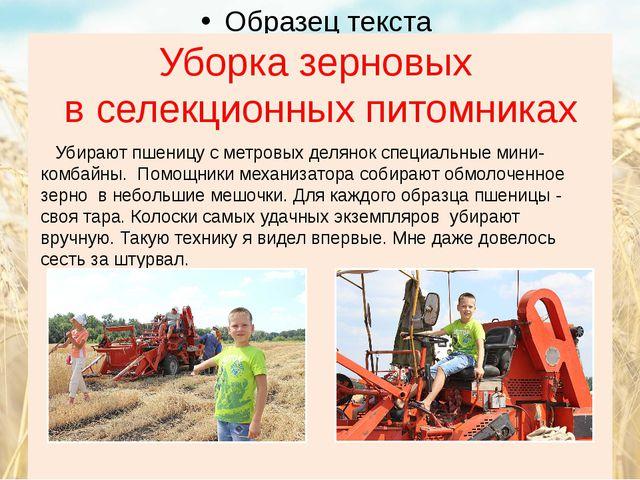 Уборка зерновых в селекционных питомниках Убирают пшеницу с метровых делянок...