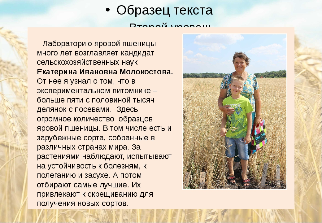 Лабораторию яровой пшеницы много лет возглавляет кандидат сельскохозяйственн...