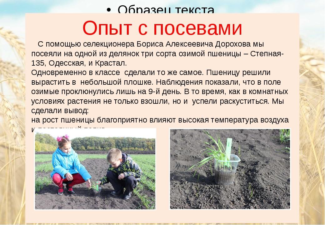 Опыт с посевами С помощью селекционера Бориса Алексеевича Дорохова мы посеяли...