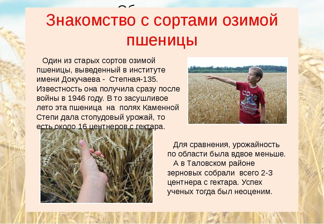 Знакомство с сортами озимой пшеницы Один из старых сортов озимой пшеницы, выв...