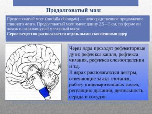 Продолговатый мозг Продолговатый мозг (medulla oblongata) — непосредственное