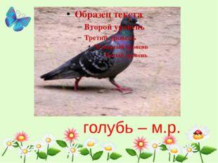 голубь – м.р.