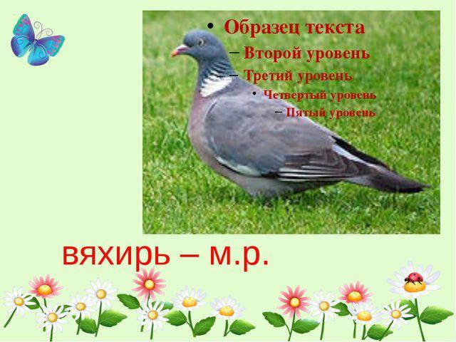 вяхирь – м.р.