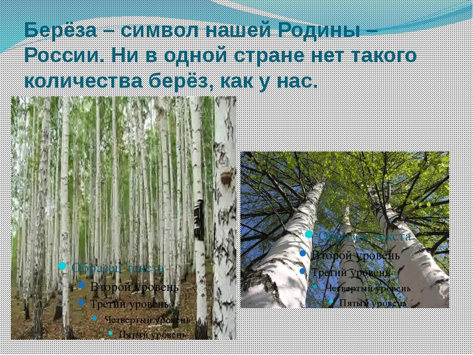 Берёза – символ нашей Родины – России. Ни в одной стране нет такого количеств...