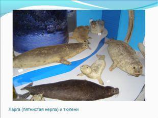 Ларга (пятнистая нерпа) и тюлени