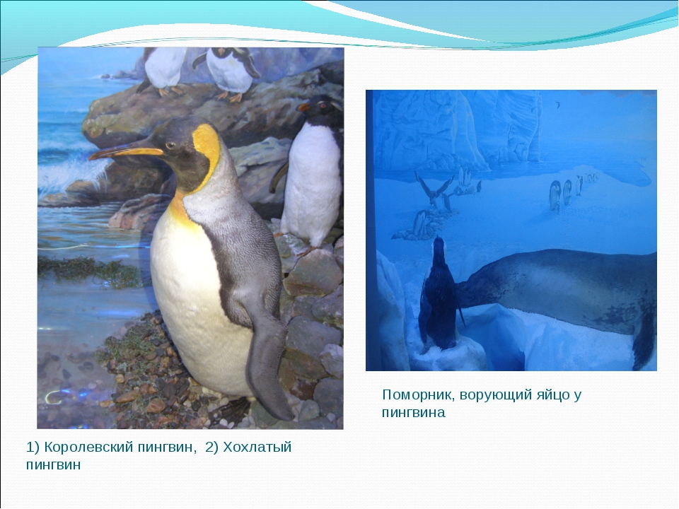 1) Королевский пингвин, 2) Хохлатый пингвин Поморник, ворующий яйцо у пингвина