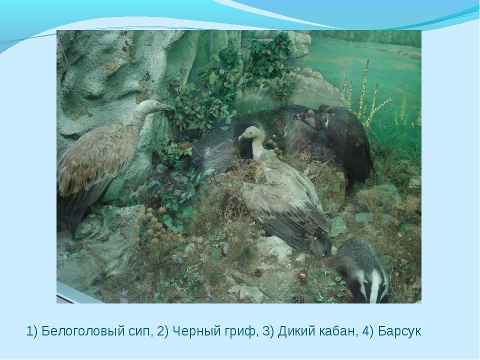 1) Белоголовый сип, 2) Черный гриф, 3) Дикий кабан, 4) Барсук