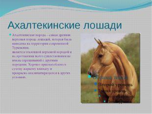 Ахалтекинские лошади Ахалтекинская порода – самая древняя верховая порода лош