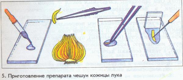 Описание: Описание: Приготовление препарата чешуи кожицы лука