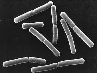 Описание: Бактерии Bacillus subtilis. Фото с сайта nasa.gov