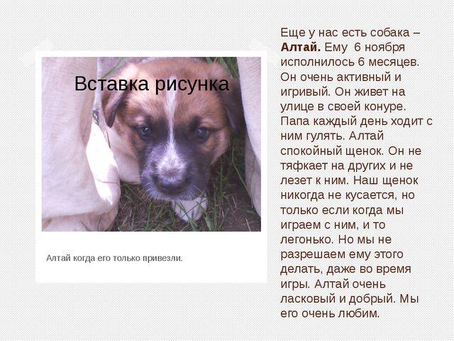 Еще у нас есть собака – Алтай. Ему 6 ноября исполнилось 6 месяцев. Он очень а...