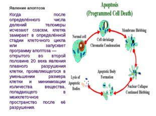 Явление апоптоза Когда после определённого числа делений теломеры исчезают со