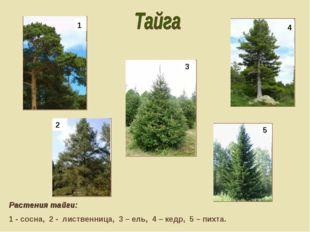 Растения тайги: 1 - сосна, 2 - лиственница, 3 – ель, 4 – кедр, 5 – пихта. 1