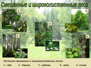 Растения смешанных и широколиственных лесов: 1 – дуб, 2 – береза, 3 – рябина,