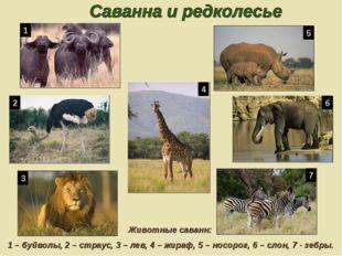 Животные саванн: 1 – буйволы, 2 – страус, 3 – лев, 4 – жираф, 5 – носорог, 6