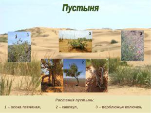 Растения пустынь: 1 – осока песчаная, 2 – саксаул, 3 – верблюжья колючка. 1 3