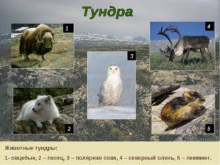 1 4 5 2 3 Животные тундры: 1- овцебык, 2 – песец, 3 – полярная сова, 4 – севе