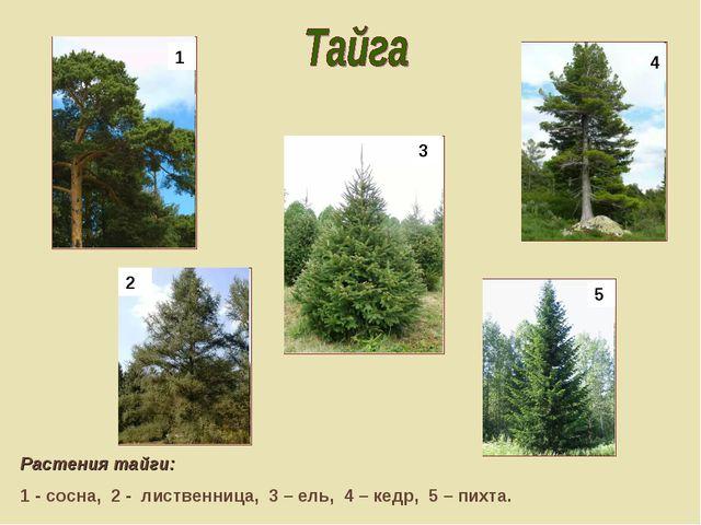 Растения тайги: 1 - сосна, 2 - лиственница, 3 – ель, 4 – кедр, 5 – пихта. 1...