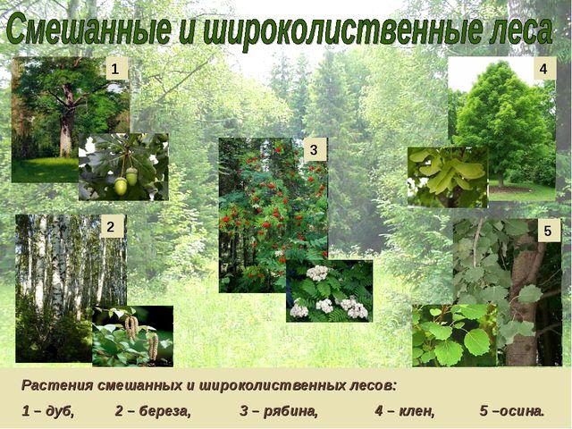 Растения смешанных и широколиственных лесов: 1 – дуб, 2 – береза, 3 – рябина,...