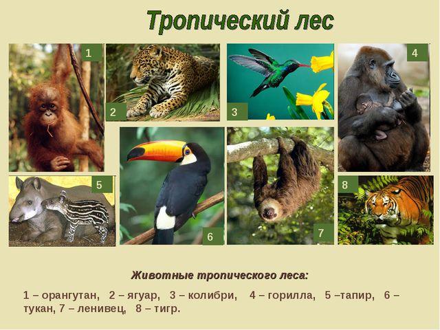 Животные тропического леса: 1 – орангутан, 2 – ягуар, 3 – колибри, 4 – горилл...