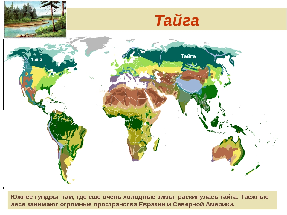 Тайга Тайга Тайга Южнее тундры, там, где еще очень холодные зимы, раскинулась...