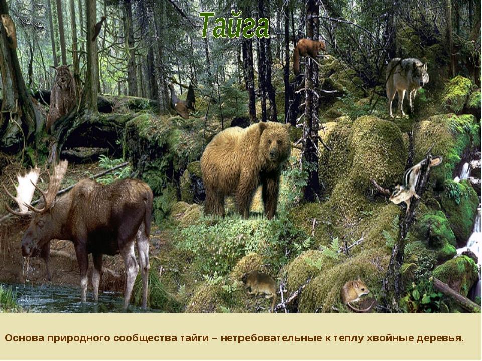 Основа природного сообщества тайги – нетребовательные к теплу хвойные деревья.