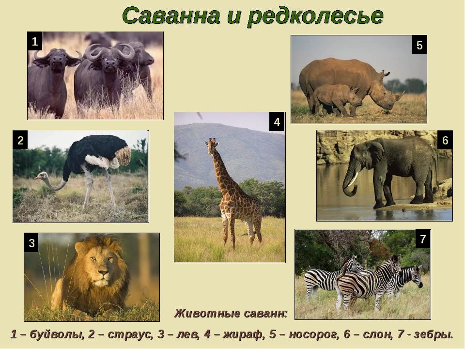 Животные саванн: 1 – буйволы, 2 – страус, 3 – лев, 4 – жираф, 5 – носорог, 6...