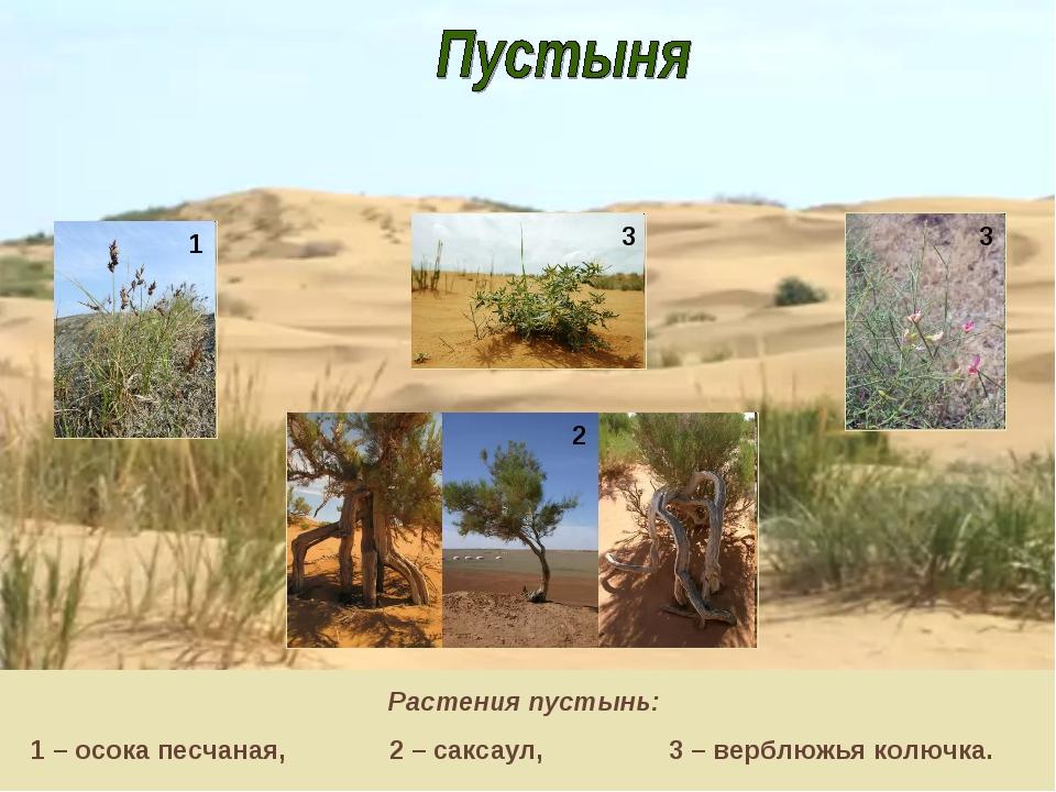 Растения пустынь: 1 – осока песчаная, 2 – саксаул, 3 – верблюжья колючка. 1 3...